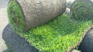 видео Рулонный газон: преимущества. критерии выбора, как вырастить своими руками, советы специалистов по укладке