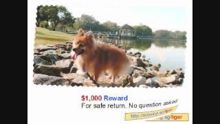 Help! $1000 Reward For Missing Male Pomeranian Named Tiger, Lost In Sengkang