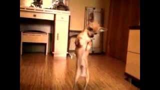 Пес танцует под музыку.