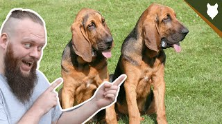 BREED 101 BLOODHOUND! Everything You Need To Know About The BLOODHOUND!