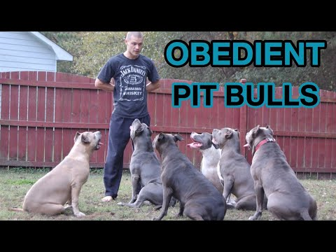 living-with-obedient-pitbulls?-a-tired-dog-is-a-good-dog!!!