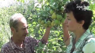Как поливать грушу. Без полива нет урожая!