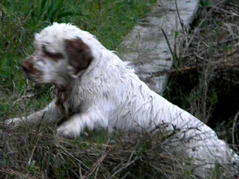 Jimmy the Clumber Spaniel