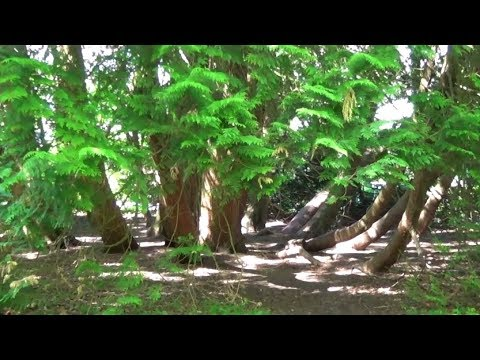 Viel mehr , als ein Baum: Die Riesen Thuja im Kurpark in Bad Hall/Oberösterreich