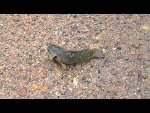 Invasive Walking Fish Threatens Australia 2