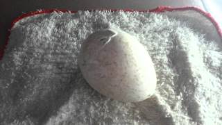 Turkey Egg Hatching