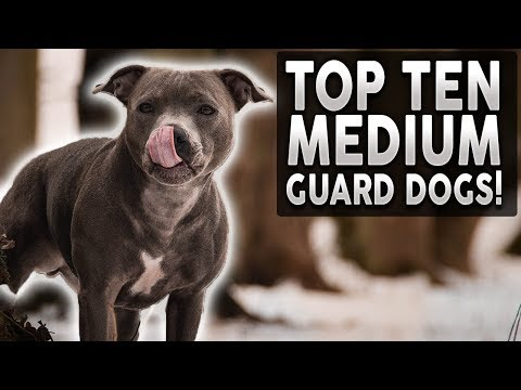 Top 10 MEDIUM Guard Dog Breeds