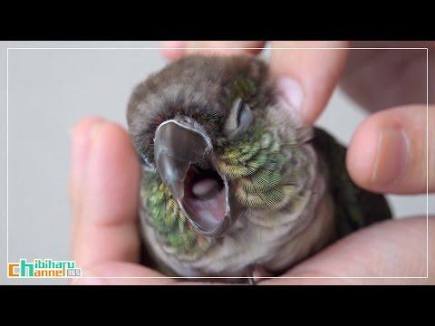 ウロコインコ:ハル 【カキカキ】 Conure: Petting the Haru – Petting a Bird