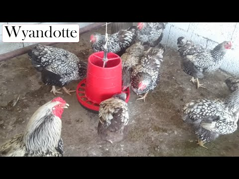 Silver Laced Wyandotte Chickens Mealtime 1