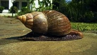 Giant African Land Snail Invasion in Florida (VIDEO)