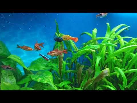 Криптокорины - растения для новичков и бывалых/Cryptocorynes - unpretentious aquarium plants