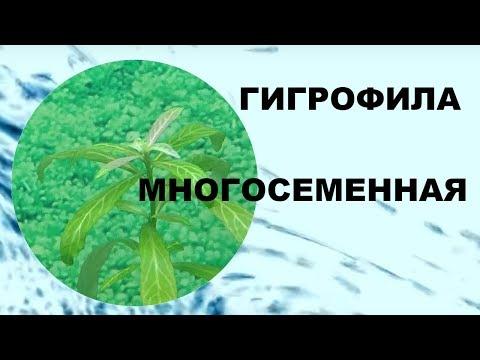ГИГРОФИЛА МНОГОСЕМЕННАЯ. Аквариумные растения.