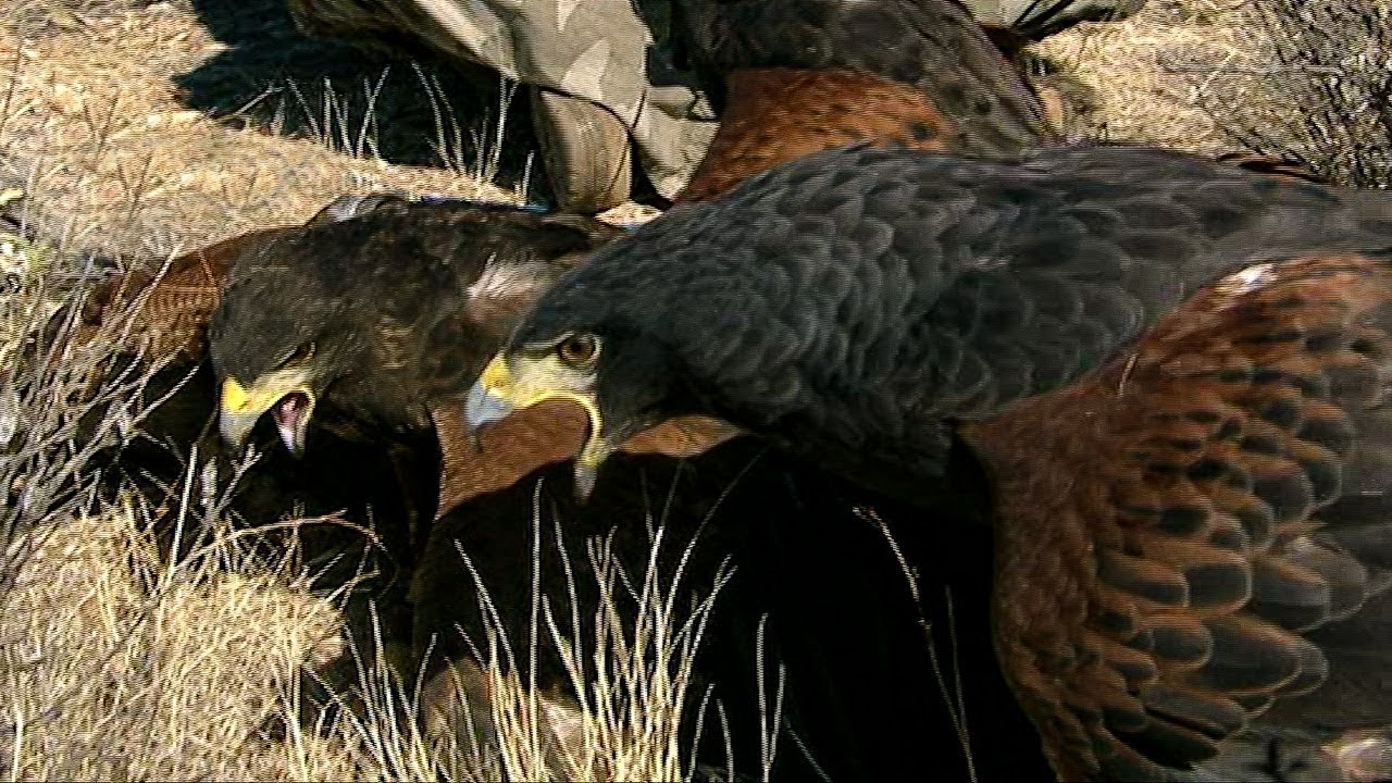 Harris Hawks Hunt Together | Deadly 60 | Earth Unplugged