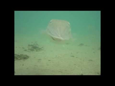 How To Catch Cuttle Fish Part 1