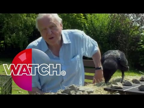 David Attenborough's Natural Curiosities: Bran The Raven | Watch