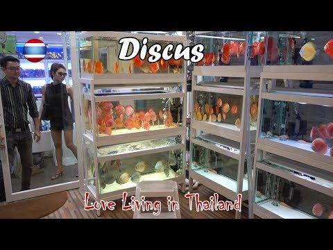 Discus Fish Market WORLD'S LARGEST Bangkok Thailand
