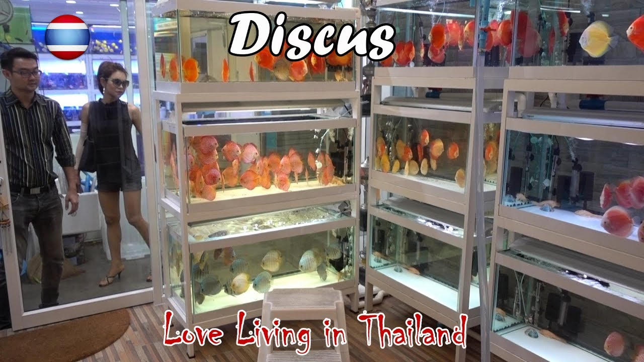 Discus Fish Market WORLD'S LARGEST Bangkok Thailand