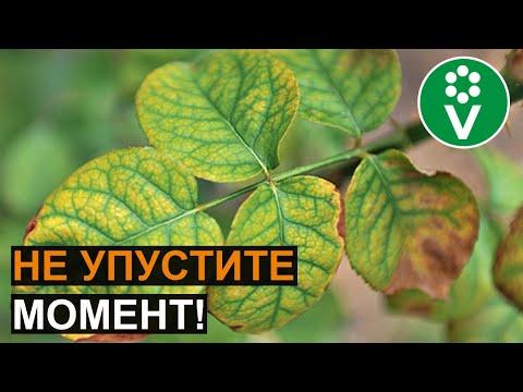 СРОЧНО ПОЛЕЙТЕ ЭТИМ РАСТЕНИЯ, если увидели такие листья! | винограда | хелатной | нехватка | клубники | петунии | огурцов | хлороз | лечить | железо | железа