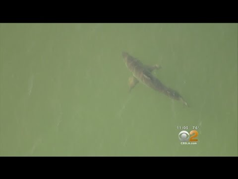 Several Great White Sharks Spotted Hanging Out In Long Beach Waters