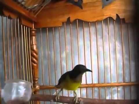 Kicau Kolibri Gacor MANTAP