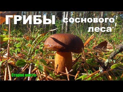 Грибы соснового леса.Mushrooms