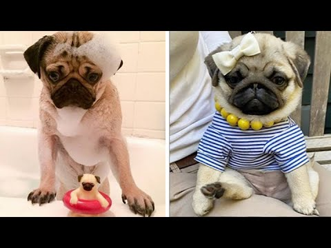 Funniest and Cutest Pug Dog Videos Compilation 2020 #7