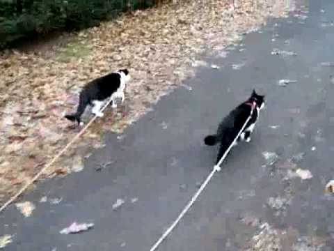 cats walking on leashes youtube. Black Bedroom Furniture Sets. Home Design Ideas