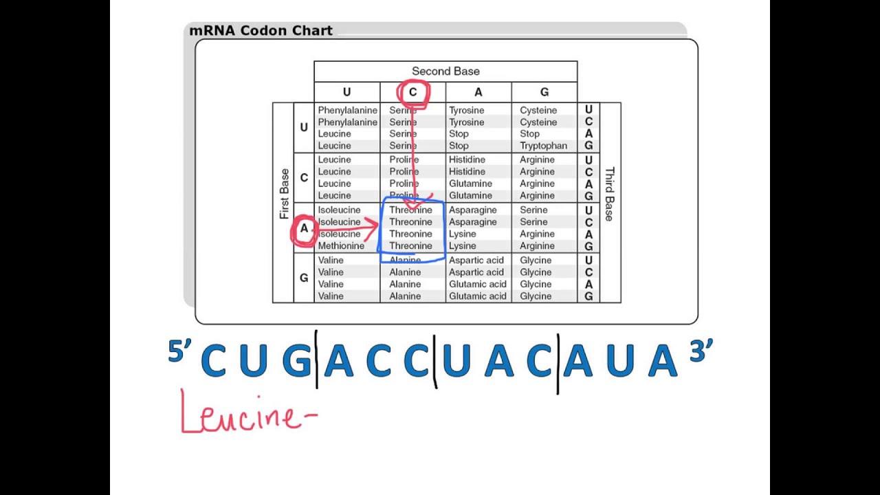 Using A Codon Chart
