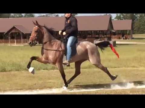 Crimson Pizazz- American Standardbred Speed Racking Horse