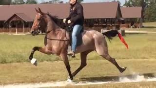 Crimson Pizazz- American Standardbred Speed Racking Horse