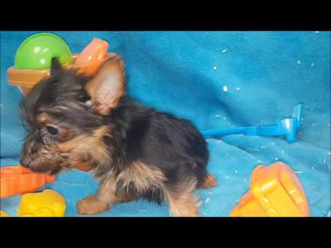FEMALE SILKY TERRIER PUPPY