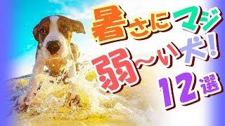 あなたの愛犬も、暑さの厳しいこの季節…少し散歩に出ただけで、呼吸が早...