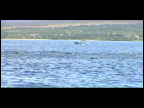 Melon Head Whales in Maui with Alii Nui