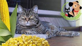 Можно ли кошке давать кукурузу?