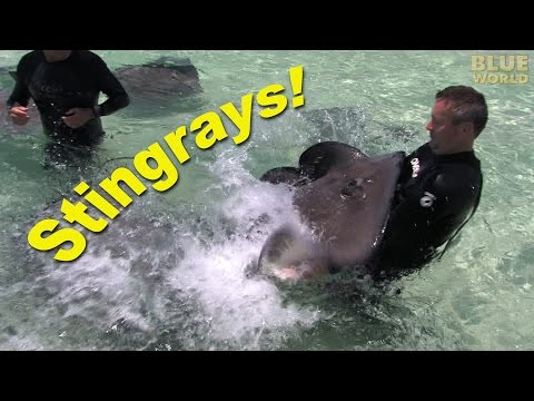 Stingray City with Guy Harvey (HD) | JONATHAN BIRD'S BLUE WORLD