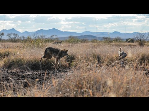 Sixteen Coyotes In One Day And The Best Coyote Hunt Captured On Film | The Last Stand S2:E6