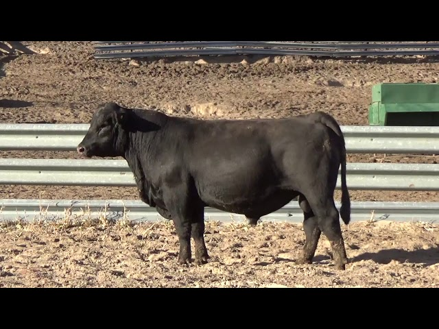 Connealy Angus Lot 213