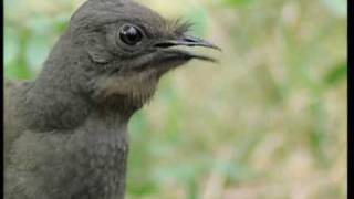 Attenborough: the amazing Lyre Bird sings like a chainsaw! N...