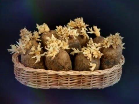 Подготовка семенного картофеля. Проращивание картофеля