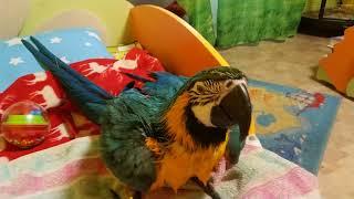 Попугай ара вытирается полотенцем после купания