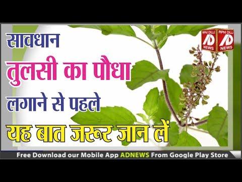 तुलसी का पौधा लगाने से पहले यह बात ज़रूर जान लें