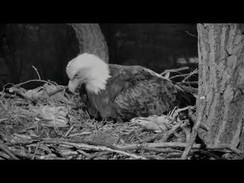 Decorah Eagles Mom Lay's Her 3rd Egg&Couple Of Egg Rolls 2/28/18