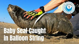 Baby Seal Caught in Party Balloon Ribbon