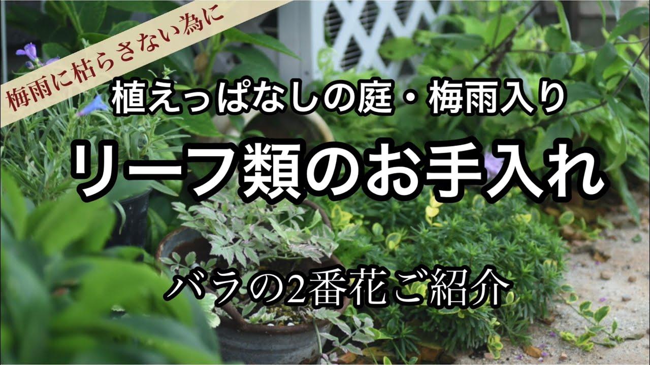 【植えっぱなしのリーフ達】梅雨に枯らさない為のお手入れ&バラの2番花