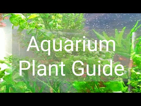 Aquarium Plant Guide|Bacopa Caroliniana