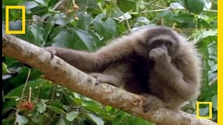 The Swinging Gibbon | National Geographic