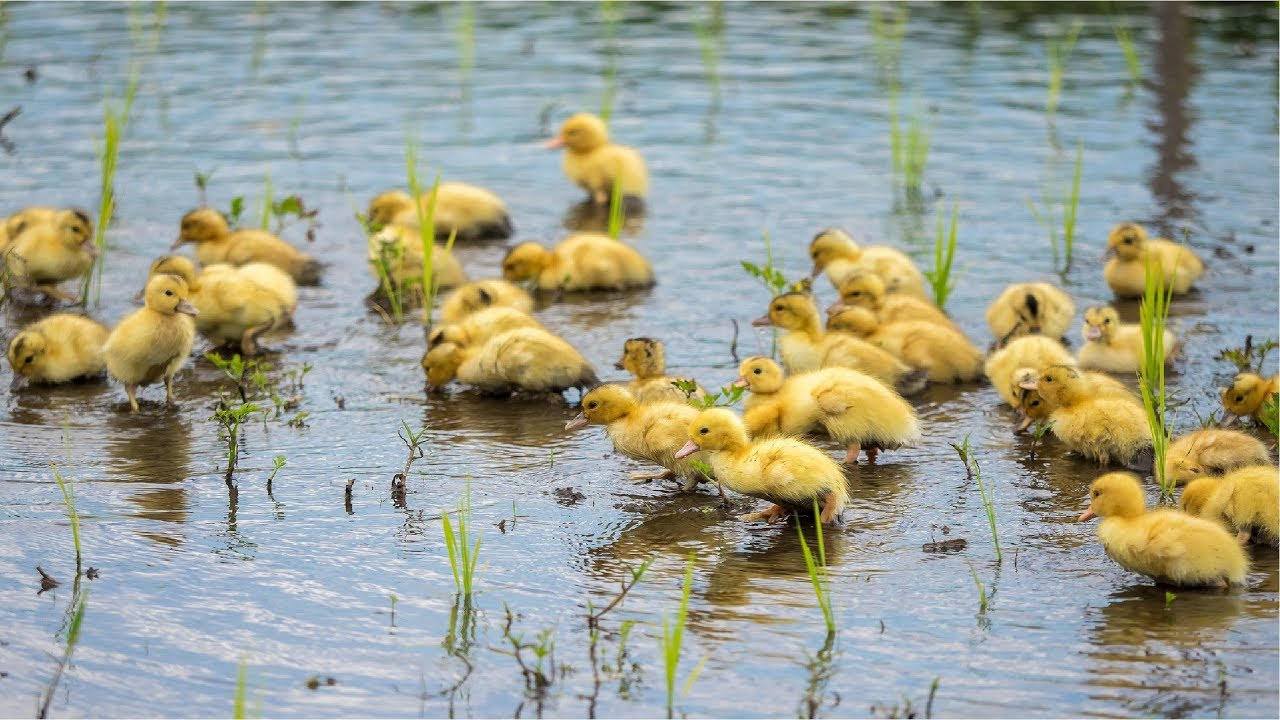 Download Duck Farming in Rice Field - Japan Organic Duck Rice cultivation