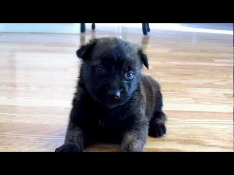 Dutch Shepherd Puppy Talking 3 Weeks Old Youtube