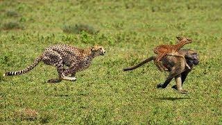 アメージングヒヒチーター狩猟、ワニ対シマウマとカバ、ライオン、象か...