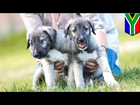 world's-first-identical-twin-puppies-born-in-south-africa---tomonews